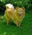 A red dog.jpg