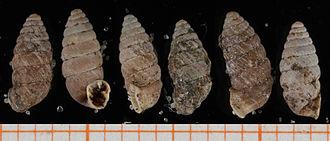 Abida bigerrensis - Six shells of Abida bigerrensis   scale bar is in mm