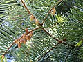 Abies concolor subsp lowiana 02.jpg
