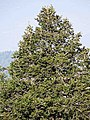 Abies pindrow India23.jpg