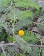 Acacia macracantha.png