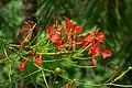 Acacia roja - Flamboyant (Delonix regia) - Flor (14528839494).jpg