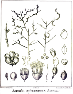 <i>Acacia spinescens</i> Species of plant