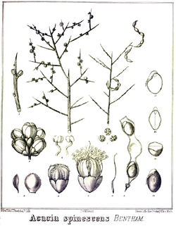Acacia spinescens.PNG