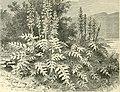 Acanthus mollis (14742824956).jpg