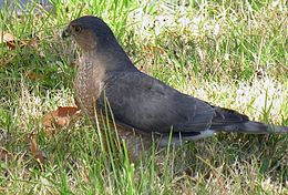 Accipiter striatus 29 Jan 06.jpg