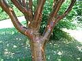 Acer griseum3.jpg