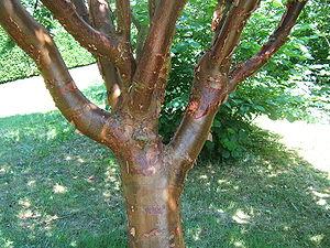 Acer griseum - Image: Acer griseum 3