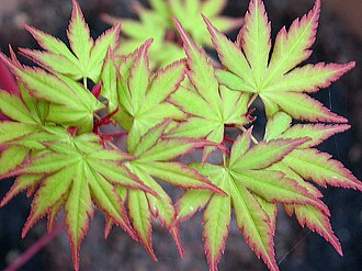 "Maple - Acer palmatum (Japanese maple) has over 1,000 cultivars. This cultivar is A. palmatum 'Sango kaku', sometimes called ""coralbark maple"""