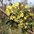 Acer platanoides inflorescence.jpg