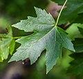 Acer saccharinum in Eastwoodhill Arboretum (4).jpg