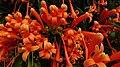 Acercamiento a flores de bignonia.jpg
