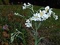 Achillea ptarmica 2015-07-15 4454.JPG