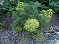 Aciphylla dieffenbachii kz01.jpg