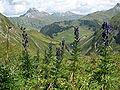 Aconitum napellus an der Braunarlspitze.JPG