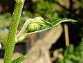 Aconitum napellus inflorescence (32).jpg