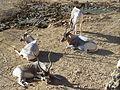Addax nasomaculatus Jerusalem Biblical Zoo050.jpg