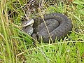 Adder curled up in grass - geograph.org.uk - 1194996.jpg