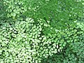 Adiantum radianum at Periya(2).jpg