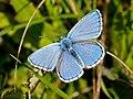 Adonis Blue (36043365454).jpg