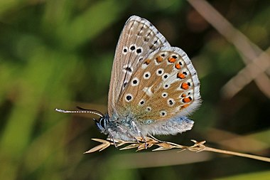 Adonis blue butterfly male