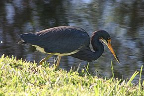 Adult Tricolored Heron.jpg