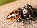 Adult female Phidippus insignarius dorsal.jpg