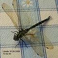 Aeshna cyanea (male).jpg