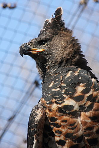 Crowned eagle - A captive crowned eagle, showing the extended crest and the permanent fierce countenance of the species