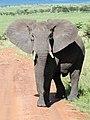 African Elephant (3075415215).jpg