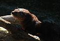 African Otter (4236683496).jpg