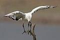 African Sacred Ibis, Threskiornis aethiopicus, at Pilanesberg National Park, South Africa (45081679671).jpg