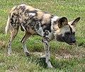 African Wild Dog (4847465205).jpg