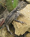 Agama lizard (5458256009).jpg