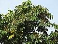Aglaia spectabilis flowering2431.jpg