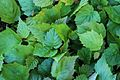 Agrosylva Nursery - Pépinière Agrosylva - Corylus Cornuta.JPG