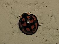 Aiolocaria hexaspilota (15296326440).jpg