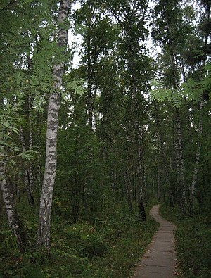Akademgorodok (Krasnoyarsk) - Image: Akademgorodok Birch wood