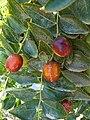 Alb-Z. jujuba-fruit-2.jpg