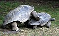 Aldabra mating 8.JPG
