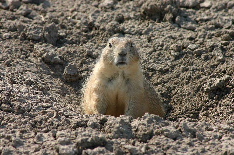 File:Alerted Prairie Dog Guarding the Entrance to its Hole.jpg