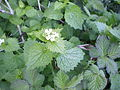 Alliaria petiolata and Rubus.jpg