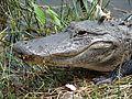 Alligator in Everglades National Park. NPS-Karen Battle-Sanborn (18497941979).jpg