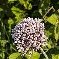 Allium ampeloprasum-Poireau des vignes-Fleur-20150527.jpg