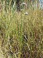 Allium angulosum sl4.jpg