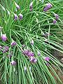 Allium cyathophorum01.jpg