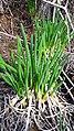 Allium rhabdotum in tender stage.jpg