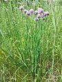 Allium schoenoprasum var. alpinum sl6.jpg