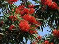 Alloxylon flammeum - Queensland Waratah (2858823893).jpg