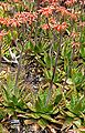 Aloe saponaria 2.jpg